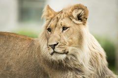 Młody lew, headshot Fotografia Royalty Free