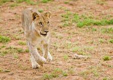 Młody lew na bieg Obrazy Royalty Free