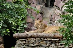 Młody lew na platformie Zdjęcie Royalty Free