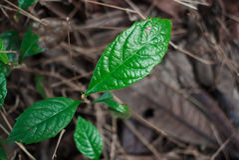 Młody loquat drzewo Zdjęcie Stock