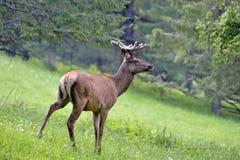 Młody maral w polanie w górach Zdjęcie Stock