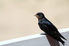 Młody Martin, emigracyjny wróblowaty ptak t (Delichon urbicum) Zdjęcia Royalty Free
