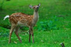 młody na jelenie Obrazy Royalty Free