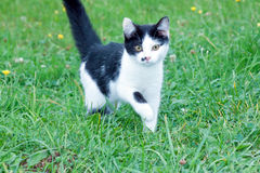 Młody nieociosany kot na Zdjęcie Stock