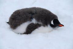 Młody pingwin Obraz Royalty Free