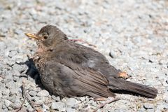 Młody ptak Zdjęcie Royalty Free