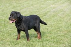 Młody Purebred Rottweiler pies outdoors w naturze Zdjęcie Royalty Free