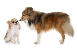 Młody Shetland pies, chihuahua i Obrazy Stock