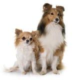 Młody Shetland pies, chihuahua i Zdjęcie Royalty Free