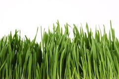 młody traw Obraz Stock