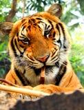 Młody tygrys Obrazy Stock