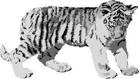 młody tygrysa Obraz Royalty Free