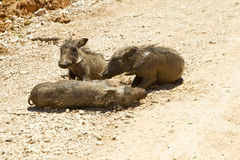 Młody warthog lying on the beach na zakurzonej drodze Zdjęcia Stock