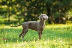 Młody weimaraner pies outdoors na zielonej trawie Zdjęcie Stock