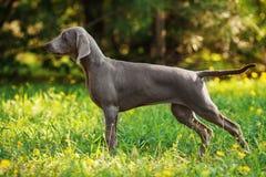 Młody weimaraner pies outdoors na zielonej trawie Obrazy Stock