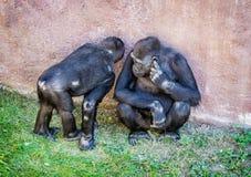 Młody Zachodniej niziny goryl matka - goryla goryla goryl - Fotografia Stock