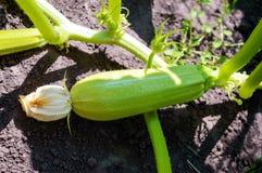 Młody zucchini w ogródzie Obrazy Royalty Free
