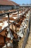 Młodzi byki na gospodarstwie rolnym Zdjęcia Royalty Free