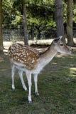 Młodzi deers w polu Obraz Royalty Free