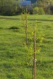 Młodzi drzewa przy zmierzchem obraz royalty free