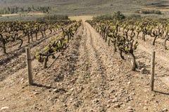 młodzi gronowi winogrady Obraz Stock