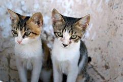 Młodzi koty sibiling Obraz Royalty Free