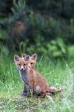 Młodzi lisy w polanie Fotografia Stock