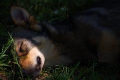 Młodzi szczeniaków sen obrazy royalty free