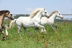 Młodzi Welsh ponnies biega wpólnie na wypasie Fotografia Stock