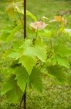 młodzi winogron Zdjęcie Stock