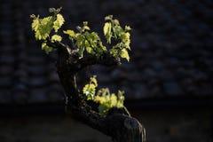 młodzi winogron Fotografia Royalty Free