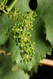 młodzi winogron Zdjęcia Royalty Free