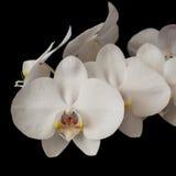 mörk orchidphalaenopsiswhite Royaltyfri Fotografi