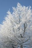 Mûr à un arbre de hêtre contre un ciel bleu Photo libre de droits