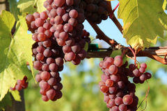 mûr rouge de raisins Image libre de droits