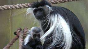 M?re d'angolensis de Colobus de singe de Colobus avec le b?b? banque de vidéos