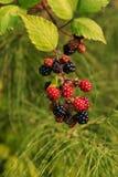 Mûres cultivées fraîches d'été à l'arrière-plan vert Photographie stock