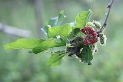 Mûres mûres et non mûres noires rouges et vertes sur la branche Photographie stock libre de droits