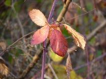 Mûres rouges de feuille sur le buisson Images stock