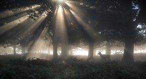 Mûrissez le mâle de cerfs communs affrichés dans la forêt sur le landsca de matin d'Autumn Fall Image stock