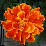 M?rkt - orange drottning Sophia Marigold eller fransk ringblomma arkivfoton
