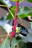 męscy birdwing motyli kopowie Zdjęcie Stock