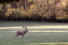 Męscy czerwoni rogacze w lasowej polanie Obraz Royalty Free