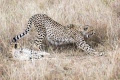 Męscy gepardy Obrazy Royalty Free