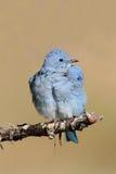 Męscy Halni Bluebird Sialia currucoides Fotografia Royalty Free