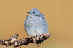 Męscy Halni Bluebird Sialia currucoides Obrazy Royalty Free
