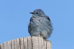 Męscy Halni Bluebird Sialia currucoides Zdjęcia Stock