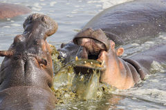 Męscy hipopotamy walczy w basenie Zdjęcia Royalty Free