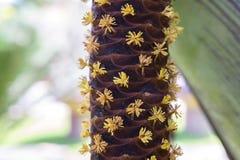 Męscy kwiaty Denny koks Zdjęcia Royalty Free