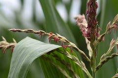 Męscy kwiaty kukurydza Zdjęcia Royalty Free